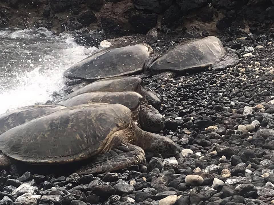 Les tortues de Kihei à Hawaï